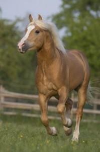 Blackhorse-stránka o koních - Plemena koní - Fjordský kůň